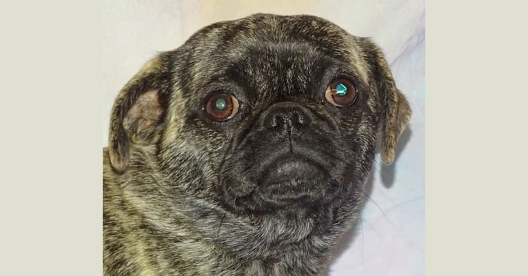 Photo of Bok Choy, a Pug and Japanese Chin mix