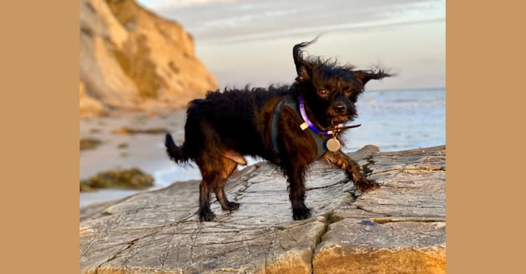 Photo of Toshi, a Miniature Pinscher, Poodle (Small), Shih Tzu, Chihuahua, Yorkshire Terrier, Dachshund, and Mixed mix in Santa Barbara, California, USA
