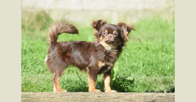 Photo of Holden, a Chihuahua  in Arkansas, USA