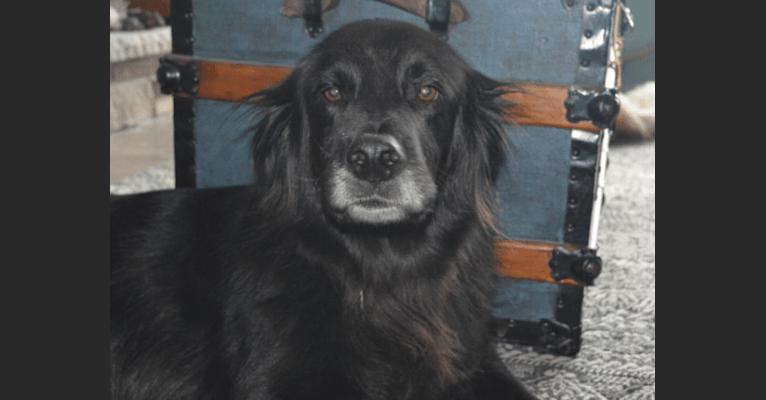 Photo of Dug, a Golden Retriever, Border Collie, and Saint Bernard mix in Pikangikum, Ontario, Canada