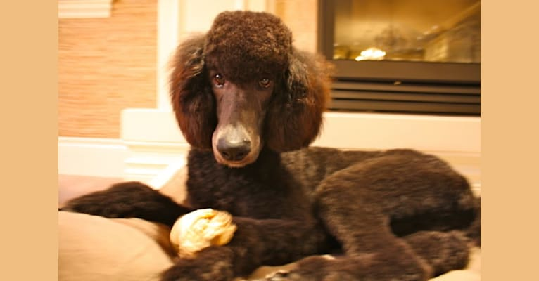 Photo of Kaimana, a Poodle (Standard)  in Fort Worth, Texas, USA