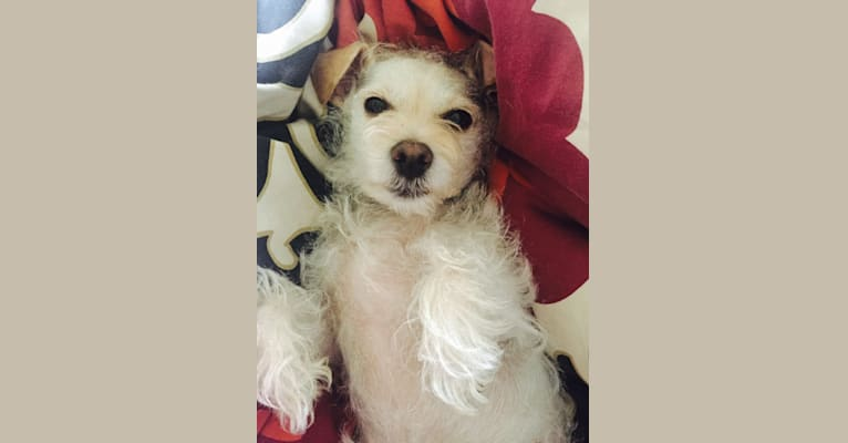 Photo of Charlie, a Miniature Schnauzer, Chihuahua, and Poodle (Small) mix in Los Angeles, California, USA
