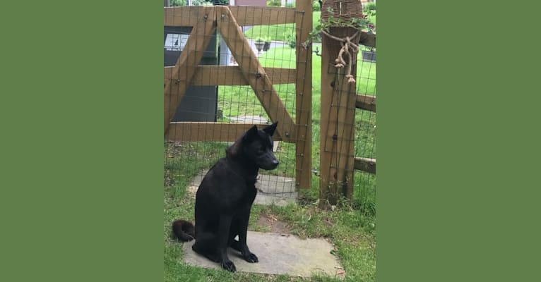 Photo of Tessa, an Akita, American Pit Bull Terrier, and Chow Chow mix in Hockessin, Delaware, USA