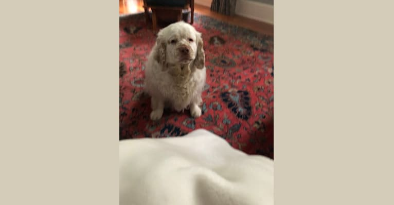 Photo of Ghillie, a Clumber Spaniel