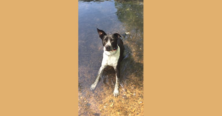Photo of Jake, a Staffordshire Terrier, Australian Cattle Dog, and Golden Retriever mix