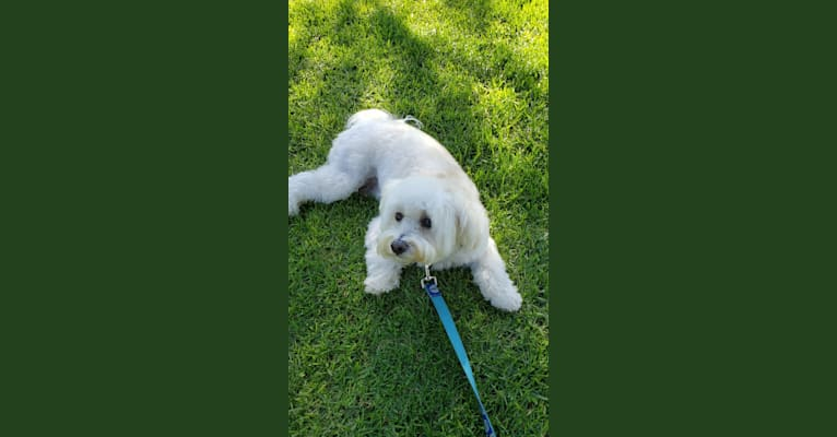 Photo of Benji, a Poodle (Small), Bichon Frise, and Chihuahua mix in California, USA