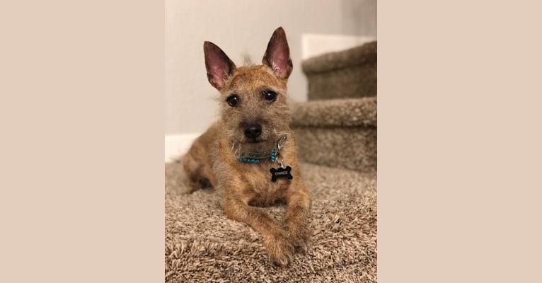 Photo of Chance, a Poodle (Small), Miniature Pinscher, Chihuahua, Shih Tzu, and Mixed mix in Corona, California, USA