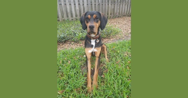 Photo of Reyes, a Treeing Walker Coonhound, American Pit Bull Terrier, Border Collie, and Labrador Retriever mix in Florida, USA