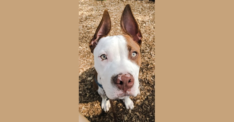 Photo of Puma, an American Pit Bull Terrier, American Staffordshire Terrier, and Boxer mix in Georgia, USA