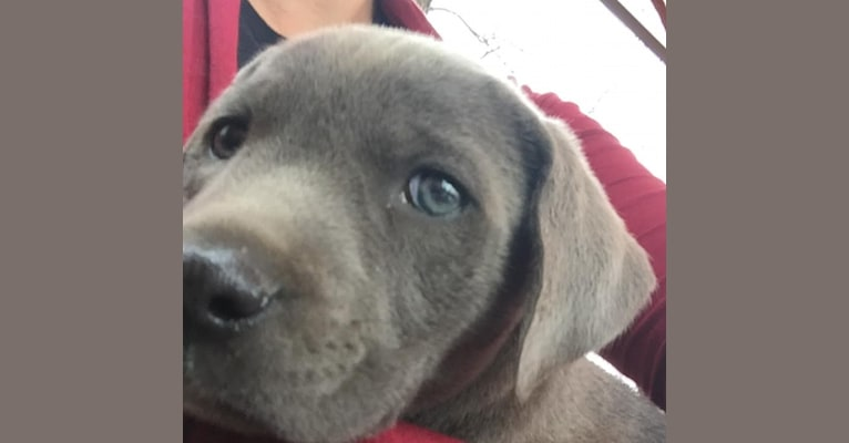 Photo of Ruby Ann, a Blue Lacy