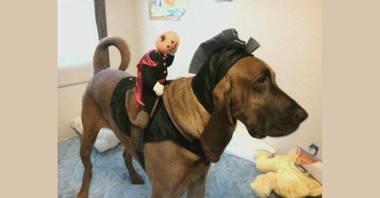 Photo of Gilbert Grape, a Bloodhound