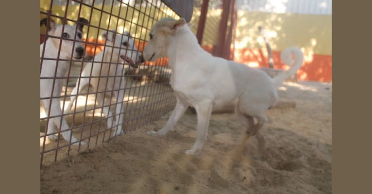 Photo of Sasha, an Arabian Village Dog