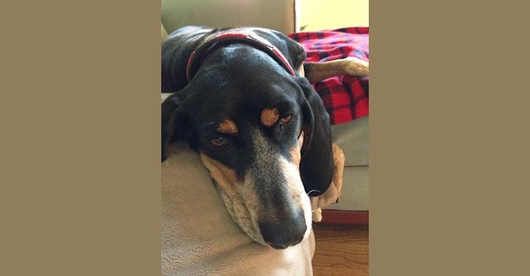 Photo of Ella, a Bluetick Coonhound  in SF, California, USA