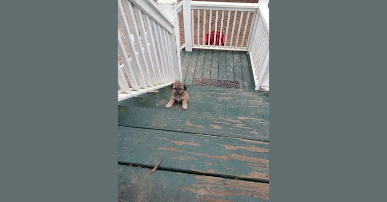 Photo of Opee, a Poodle (Small) and Chihuahua mix in St Helena Island, South Carolina, USA