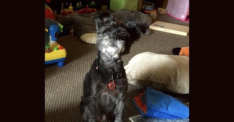 Photo of Zoe, an Affenpinscher