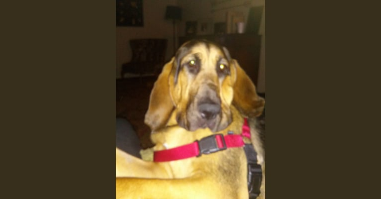 Photo of Cash, a Bloodhound