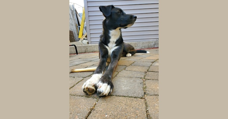 Photo of Willie Nelson, a Siberian Husky and American Pit Bull Terrier mix in Somerville, Massachusetts, USA