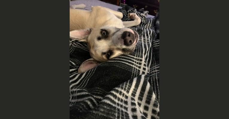 Photo of Titan, a Siberian Husky, American Pit Bull Terrier, American Bulldog, and Australian Cattle Dog mix in Kentucky, USA