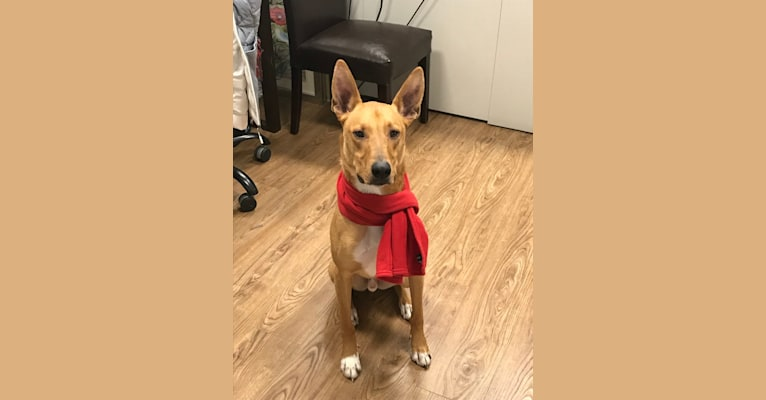 Photo of River, a Collie and American Pit Bull Terrier mix in New Jersey, USA