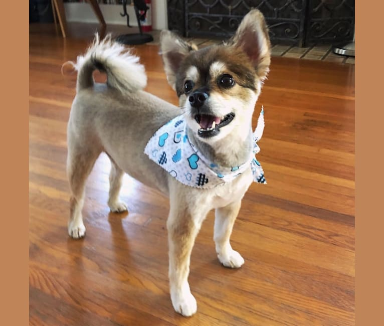 Photo of Koga, an East Asian Village Dog and Miniature Schnauzer mix in Los Angeles, California, USA