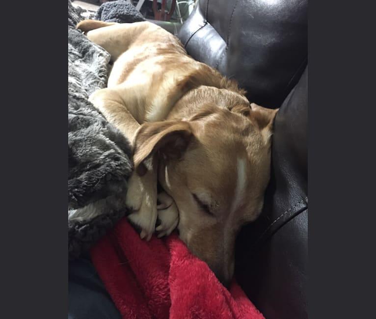 Photo of Sammy, a Rat Terrier, Golden Retriever, American Eskimo Dog, Miniature Schnauzer, and Mixed mix in Robinson, IL, USA