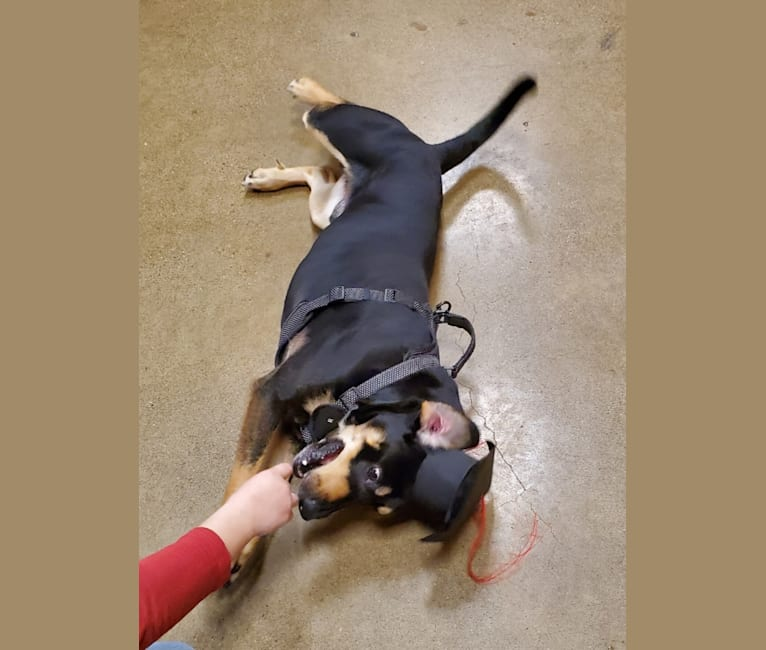 Photo of Link, an Australian Shepherd, Labrador Retriever, American Pit Bull Terrier, and Mixed mix in Wilkes-Barre, Pennsylvania, USA