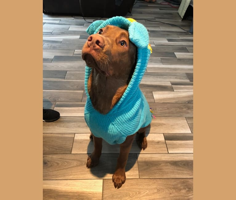 Photo of Luca, an American Bulldog, German Shepherd Dog, Bulldog, Alaskan Malamute, Labrador Retriever, and Mixed mix in Saskatoon, Saskatchewan, Canada