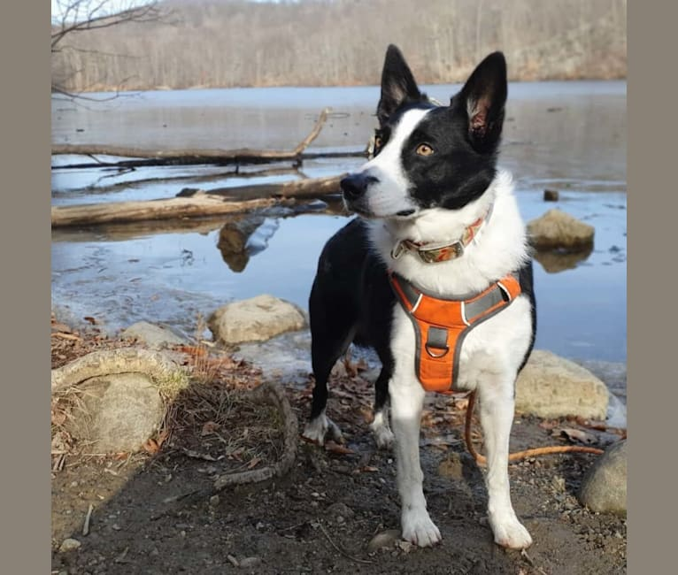Photo of Raven Do II, a Border Collie, Australian Cattle Dog, and Australian Shepherd mix in Jersey City, New Jersey, USA