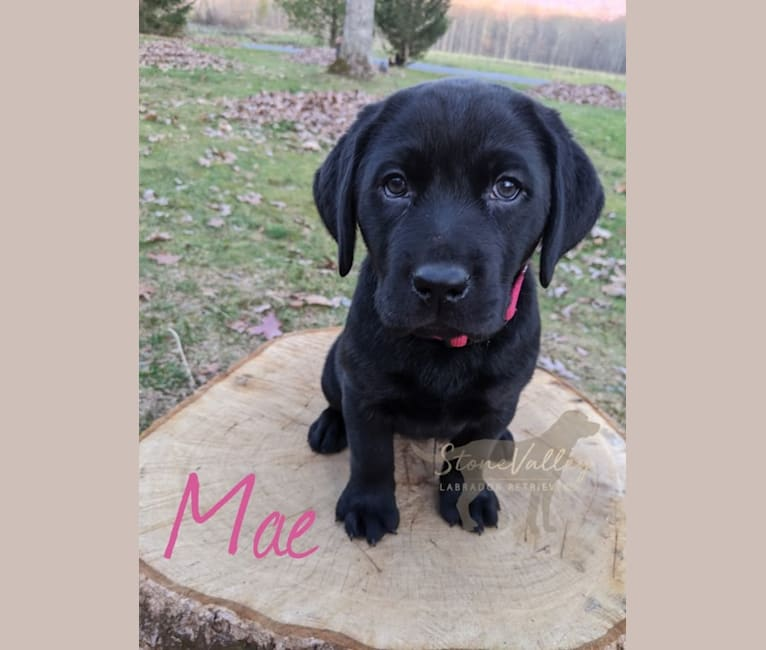 Photo of Mae, a Labrador Retriever  in Huntingdon, PA, USA