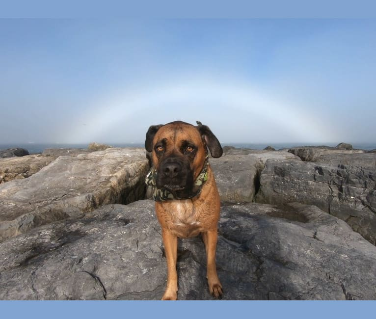 Photo of Zeus, a Boxer and American Pit Bull Terrier mix in South Carolina, USA