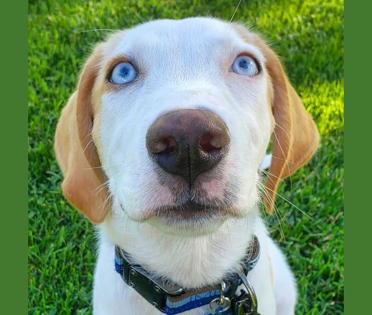 Photo of Arlo, an American Foxhound, German Shepherd Dog, and Siberian Husky mix in Georgia, USA