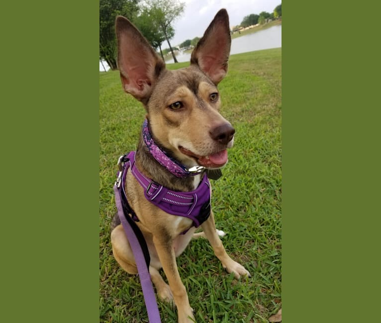 Photo of Luna Astrid, a Siberian Husky, American Pit Bull Terrier, Boxer, and Mixed mix in The Woodlands, Texas, USA