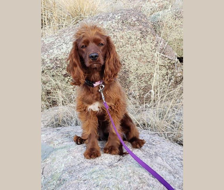 Photo of Bree, a Poodle (Small), Cocker Spaniel, English Cocker Spaniel (Working Type), and English Cocker Spaniel mix in Cañon City, Colorado, USA