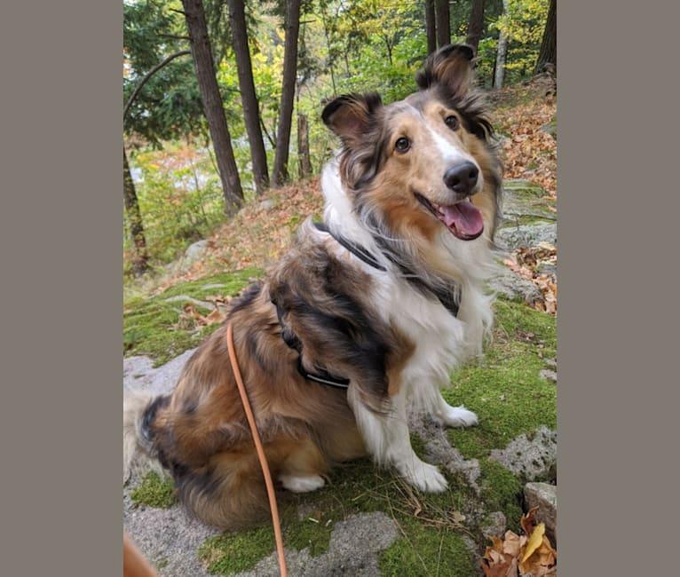 Photo of Valentino, a Shetland Sheepdog  in Bolivar, NY, USA