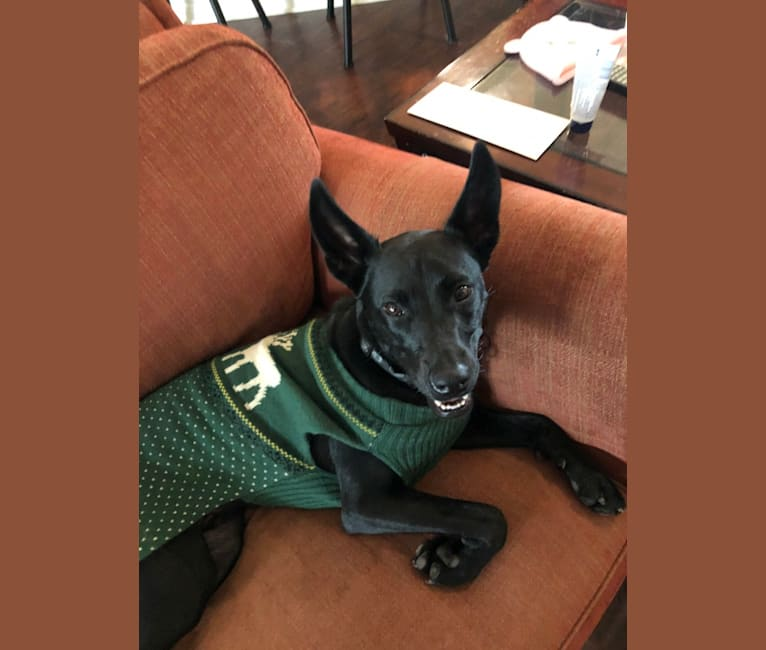 Photo of Chico, an American Pit Bull Terrier, Australian Cattle Dog, Boxer, Siberian Husky, and Chow Chow mix in San Antonio, Texas, USA