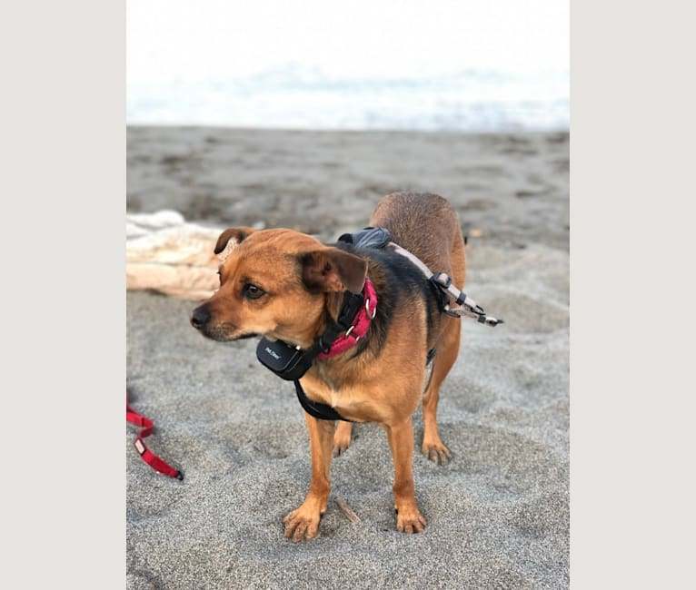 Photo of Muggsy, a Chihuahua and Rat Terrier mix in California, USA