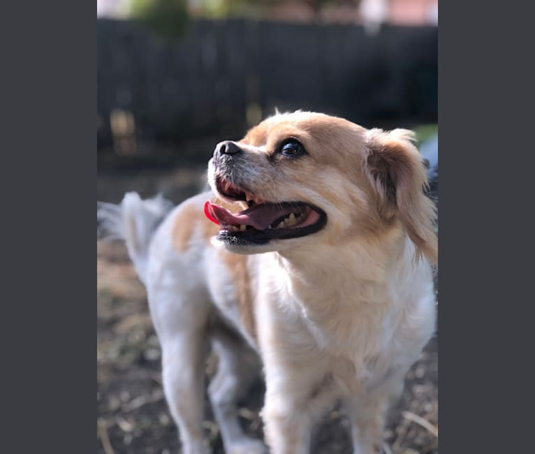 Photo of Charlie, a Cavalier King Charles Spaniel and Chihuahua mix in Fort Worth, Texas, USA