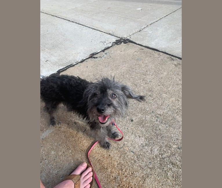 Photo of Delilah, a Yorkipoo  in Greensboro, North Carolina, USA