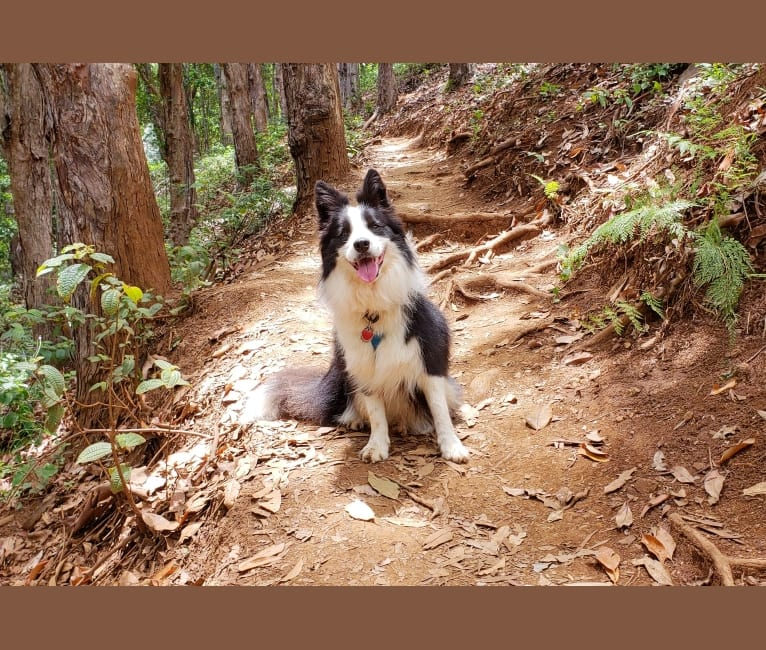 Photo of Kida, a Border Collie  in Japan