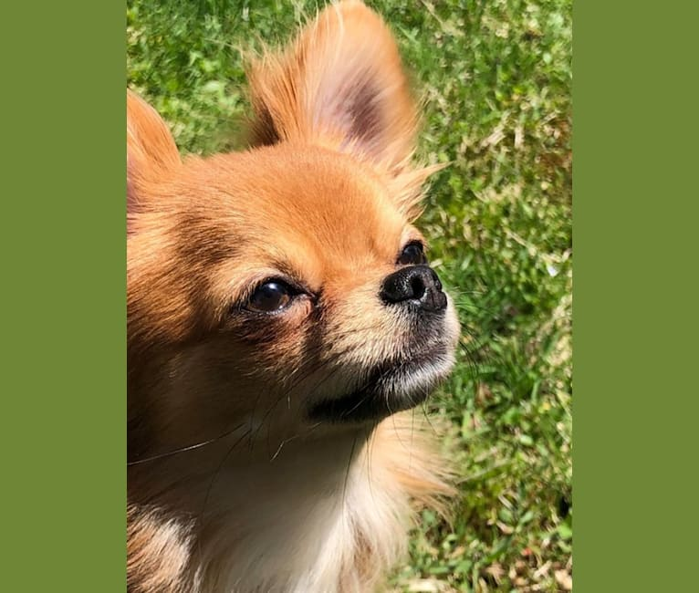 Photo of Tommy, a Chihuahua  in Rome, NY, USA