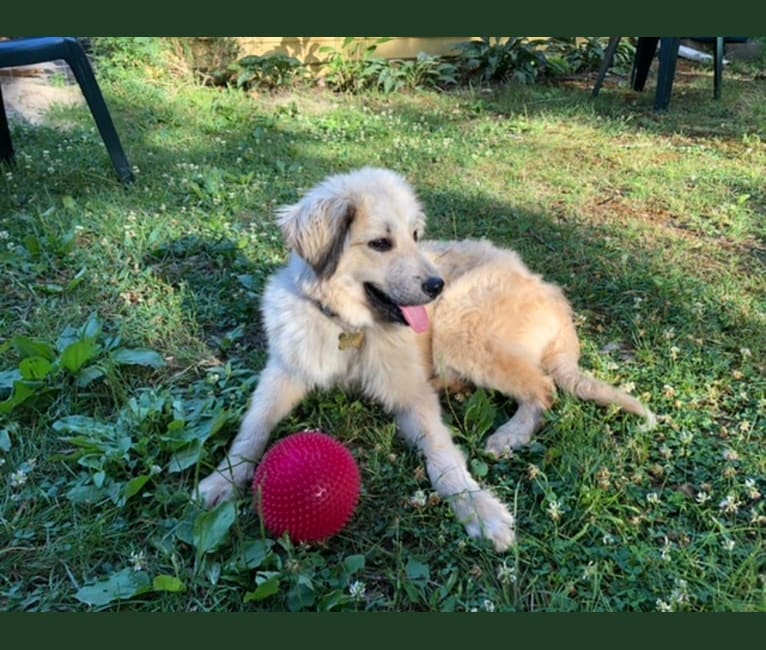 Photo of Daisy, a Great Pyrenees, Siberian Husky, and Poodle (Standard) mix in Tennessee, USA