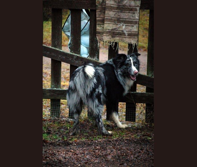 Photo of Ragnar, an Australian Shepherd and Norwegian Elkhound mix in Kuhmalahti, Suomi
