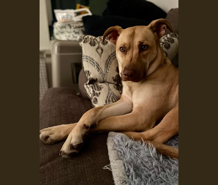 Photo of Indie, an American Pit Bull Terrier, German Shepherd Dog, and Doberman Pinscher mix in Portland, Oregon, USA