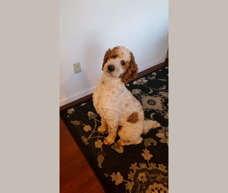 Photo of Benny, a Poodle (Standard)  in Ohio, USA