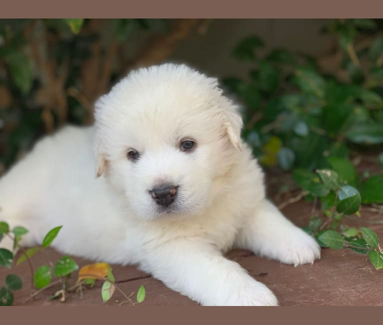 Photo of Bentley, a Great Pyrenees  in Austin, Texas, USA