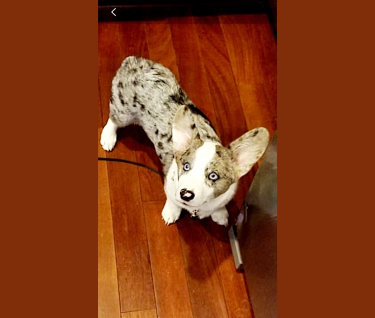 Photo of Brucie, a Pembroke Welsh Corgi and Cardigan Welsh Corgi mix in Kennesaw, Georgia, USA