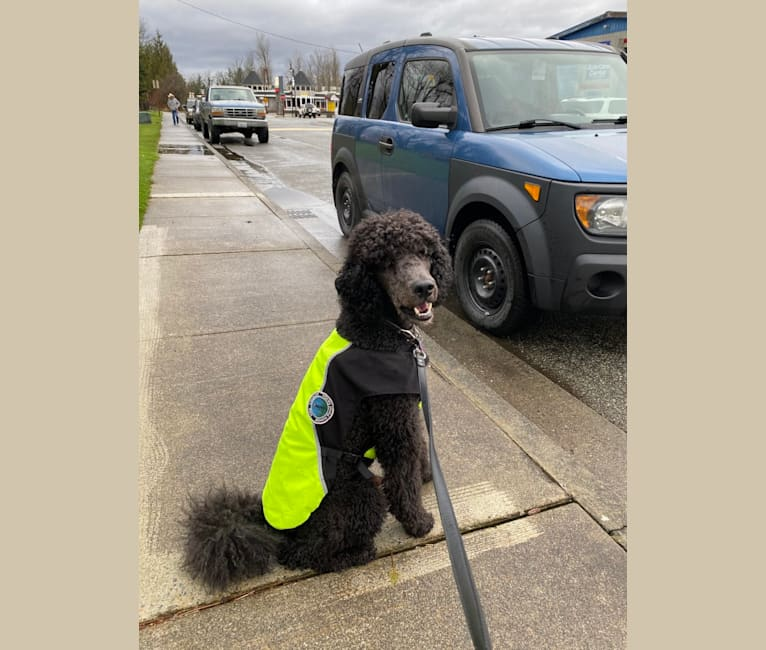 Photo of Leo, a Poodle (Standard)  in Burnaby, British Columbia, Canada