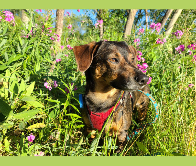 Photo of Wilbur, a Dachshund, Norwegian Elkhound, Mountain Cur, and Mixed mix in Louisiana, USA
