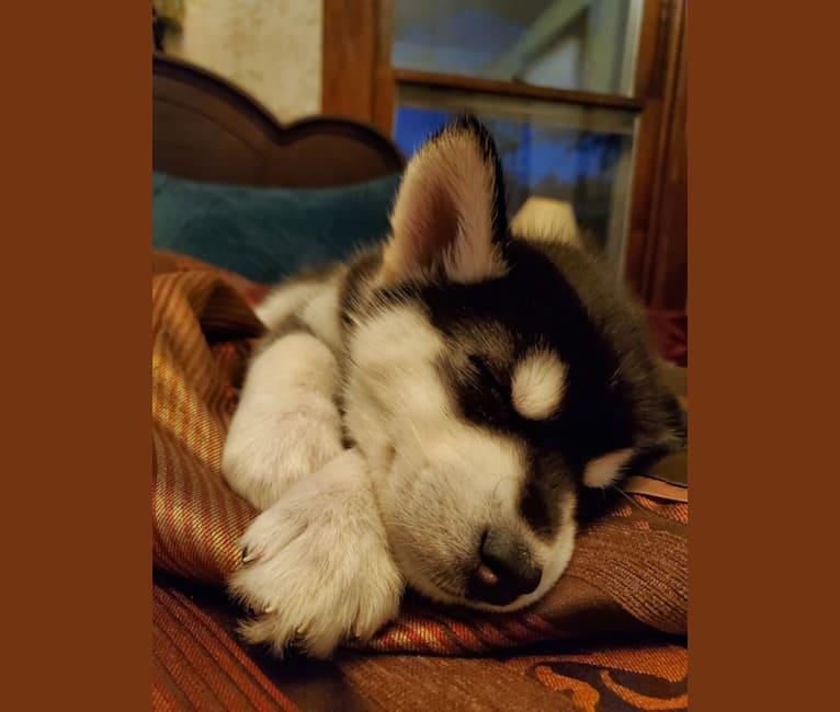 Photo of Nyx, an Alaskan Malamute and Siberian Husky mix in Reynoldsburg, Ohio, USA