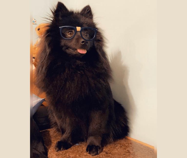 Photo of Kanda Mau Loa, a Pomeranian  in Los Angeles, California, USA